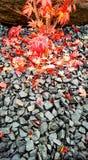 在岩石的鸡爪枫叶子 免版税图库摄影