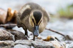 在岩石的鸭子在洛蒙德湖旁边 图库摄影