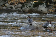 在岩石的鸭子 免版税库存照片