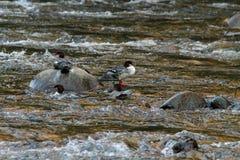 在岩石的鸭子 免版税图库摄影