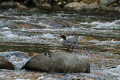 在岩石的鸭子 库存照片