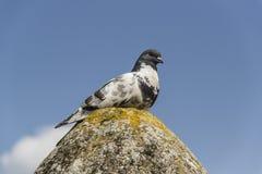 在岩石的鸽子 库存图片