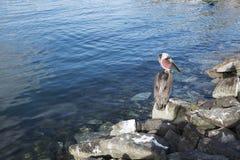 在岩石的鹈鹕 图库摄影