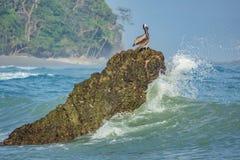 在岩石的鹈鹕 免版税图库摄影