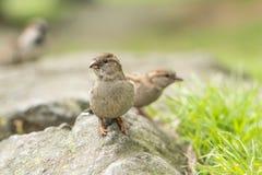 在岩石的麻雀在公园 库存照片