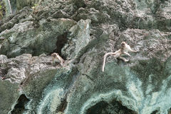 在岩石的猴子 免版税库存照片