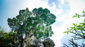 在岩石的结构树 免版税图库摄影