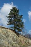 在岩石的结构树 免版税库存照片