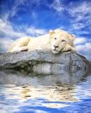 在岩石的年轻白色狮子睡眠与反射在水中 库存照片