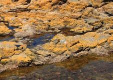 在岩石的黄色海藻在海洋 免版税库存照片