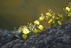 在岩石的黄色花 免版税库存图片