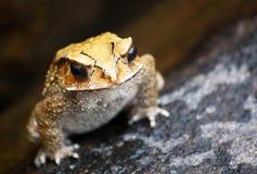 在岩石的黄色颜色青蛙 免版税库存图片