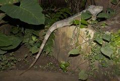 在岩石的绿色鬣鳞蜥 库存照片