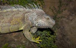 在岩石的绿色鬣鳞蜥 图库摄影