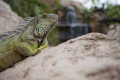 在岩石的绿色鬣鳞蜥 库存图片