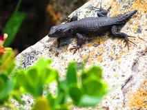 在岩石的黑蜥蜴 库存照片