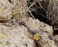 在岩石的水蝮蛇 免版税库存照片