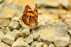 在岩石的蝴蝶 免版税库存照片