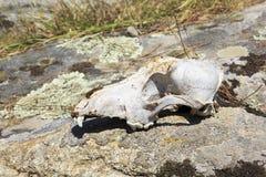 在岩石的头骨牛 库存照片