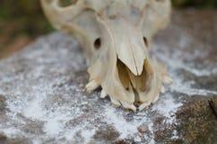 在岩石的头骨 库存图片
