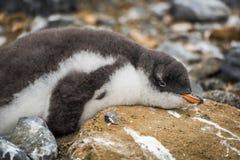 在岩石的Adelie企鹅洒与鸟粪 库存图片