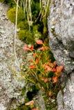 在岩石的Blueberrie的灌木 库存照片
