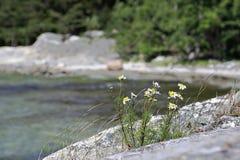 在岩石的Chamomilles 库存图片