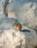 在岩石的Chipmank在黄昏 库存照片