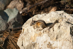 在岩石的Chipmank在黄昏 库存图片