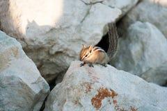 在岩石的Chipmank在黄昏 图库摄影