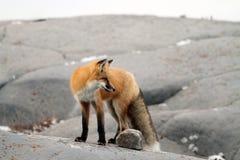 在岩石的Fox 库存图片