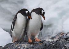 在岩石的Gentoo企鹅 免版税图库摄影
