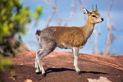 在岩石的Klipspringer。 Serengeti,坦桑尼亚,非洲 免版税库存照片