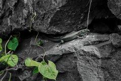 在岩石的Madeiran墙壁蜥蜴 库存照片