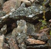 在岩石的Pika 库存图片