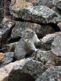 在岩石的Pika 免版税库存图片