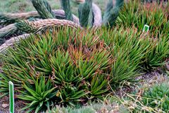 在岩石石地面上的Haworthia tessellata多汁植物叶子 库存图片