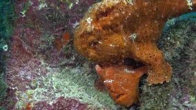 在岩石礁石的红色鱼钓鱼者琵琶鱼狩猎