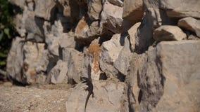 在岩石移动的蜥蜴 影视素材
