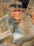在岩石背景的周道的猴子特写镜头  免版税库存照片