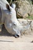 在岩石背景的犀牛头 免版税库存照片
