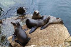 在岩石蒙特里海湾加利福尼亚的五封印 库存图片