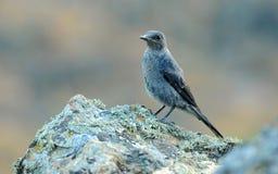 在岩石蓝色岩石鹅口疮的鸟 库存照片