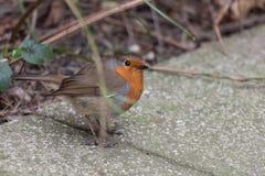 在岩石路的肥胖鸟 免版税库存图片