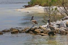 在岩石跳船的布朗鹈鹕 免版税库存图片