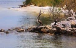 在岩石跳船的布朗鹈鹕 免版税库存照片