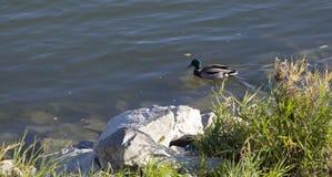 在岩石附近的一只野鸭 免版税图库摄影