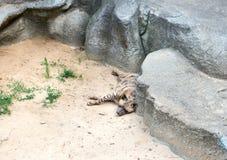 在岩石附近的睡觉鬣狗 库存图片