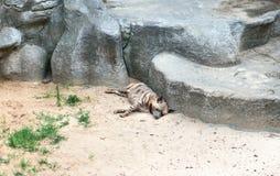 在岩石附近的睡觉鬣狗 免版税库存图片
