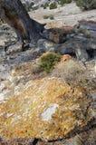在岩石露头的橙色地衣 库存图片